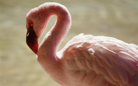 粉红色,火烈鸟,背景