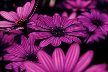丁香,鲜花,紫色,宏