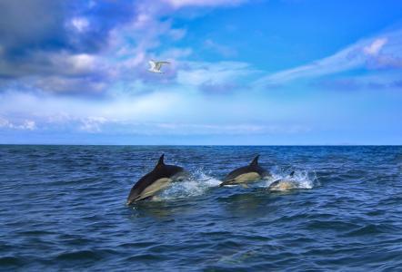 海豚,海,海鸥,天空