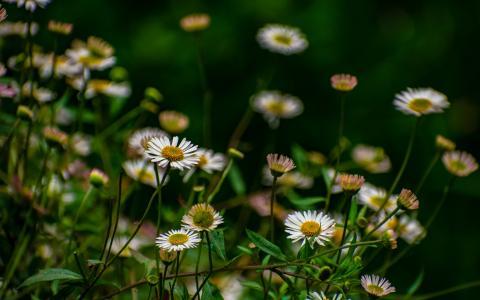 唯美白色雏菊图片桌面壁纸