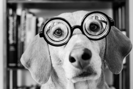 看,黑色和白色,眼镜,脸,狗