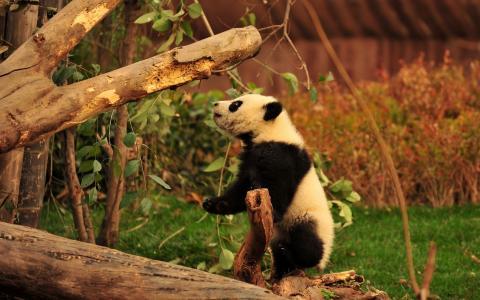熊猫,毛茸茸的彩旗,树木