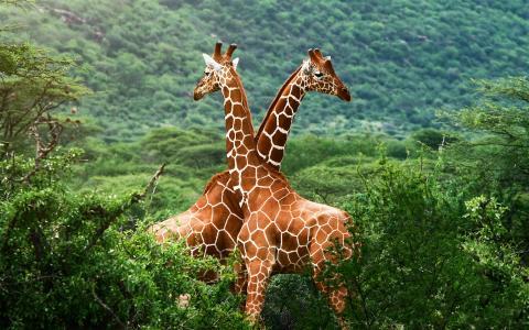 非洲,大草原,长颈鹿,绿党
