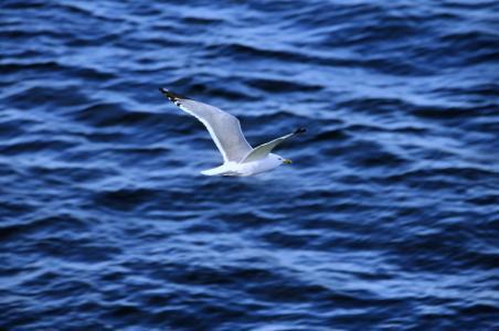 海鸥,飞行,海