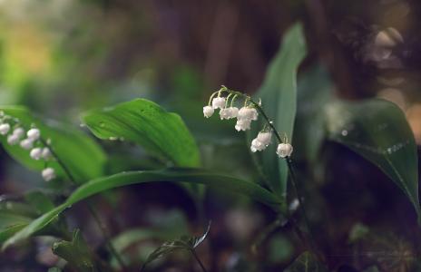 铃兰,铃兰,鲜花