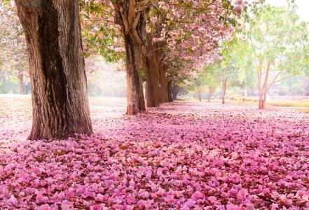樱花,花卉,树木,性质