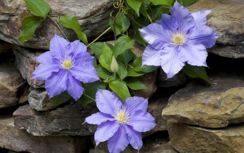 石工,宏,石,藤本植物,丁香,鲜花,铁线莲