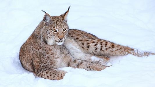 冬天,猫,l,,雪HD