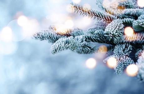 冬天,分支,云杉,枞树,白霜,散景