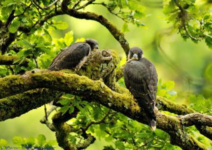 分支,猎鹰,鸟,游隼