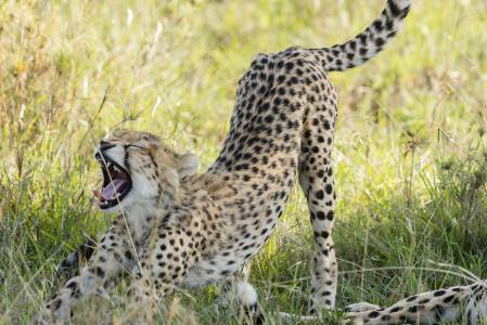 猎豹,猫,自然,稀树草原,早上好,体操