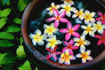 植物,花卉,鸡蛋花,花盆