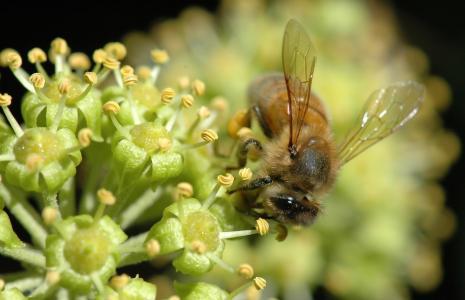 昆虫,花粉,微距摄影,花蜜,蜜蜂