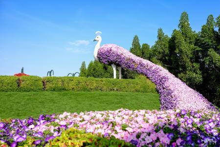 迪拜,阿联酋,花园,草坪,鲜花,矮牵牛,尾巴,孔雀,奇迹花园,设计,灌木,草坪