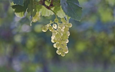 叶子,葡萄,浆果,束
