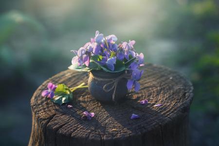 自然,春天,树桩,锅,鲜花,仙客来
