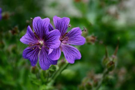 鲜花,丁香,锦葵,背景,模糊