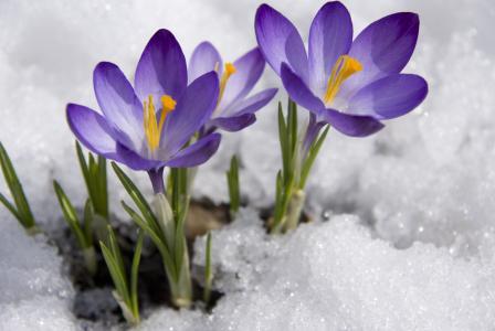花,番红花,山,雪,冬天