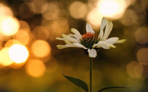 雏菊,阳光,宏观