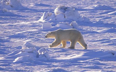 雪,北极,北方,沙漠,北极熊