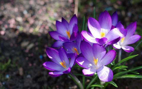 花,番红花,春天,性质