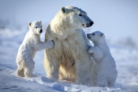 性质,亲相片,冬天,雪,北极熊