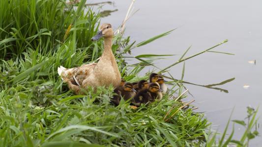 动物,鸟,水,鸭