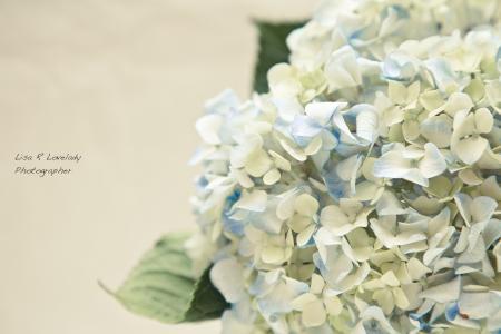 绣球花,柔情,鲜花