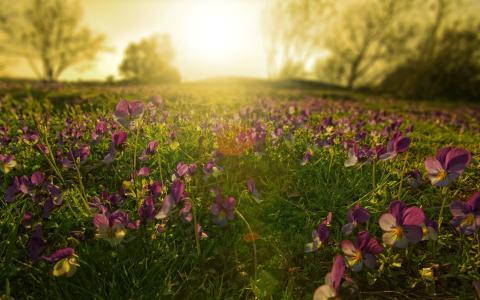 地毯,鲜花,性质,日落,太阳,树木