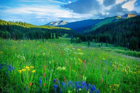 场,鲜花,山,树,路,景观,科罗拉多州