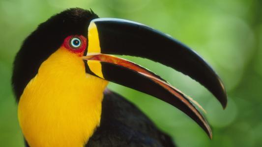 鸟,喙,巨嘴鸟