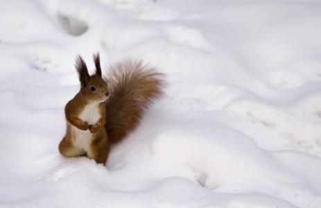 松鼠,雪,冬天