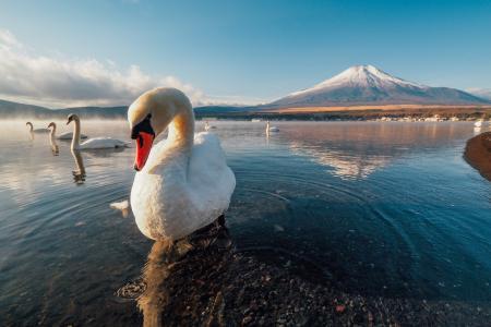 天鹅,世界鸟类,自然,山脉,超级照片