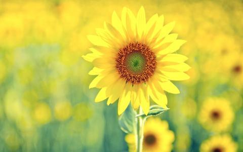 绿色,黄色,太阳,向日葵