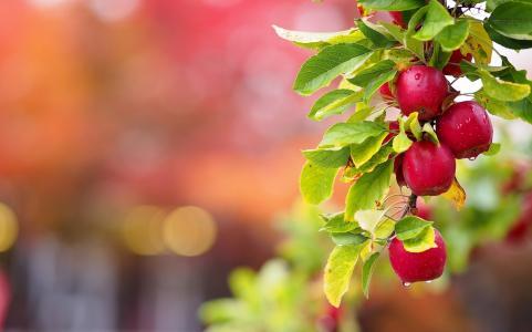 性质,分支机构,叶子,水果,苹果,滴眼液