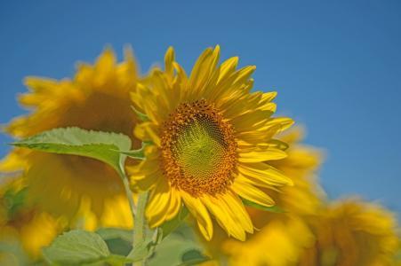 向日葵,美女,天空,背景,夏天