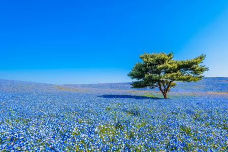 日立海滨公园,日本常陆那珂,日本全国海滨公园日立,日本国立花园,草甸,花,nymphophylla,树