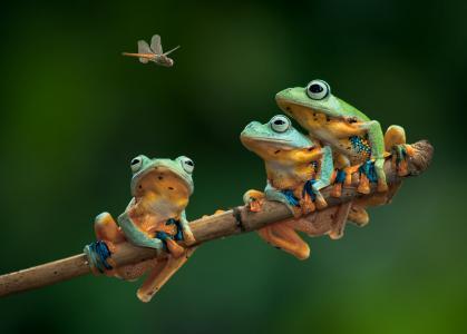 青蛙,蜻蜓,分支,三位一体