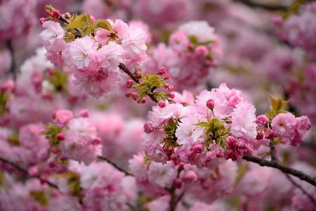 春天,开花,樱花,鲜花,美丽