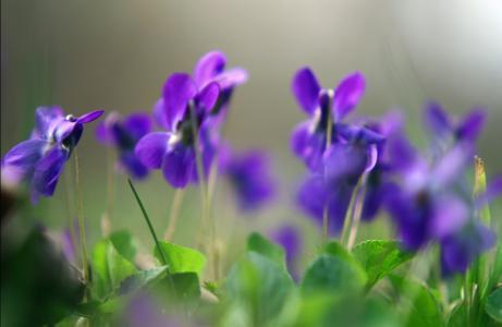 鲜花,宏,紫罗兰,春天,植物,紫色