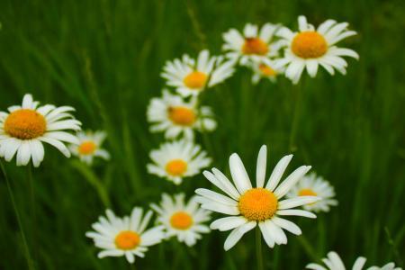 鲜花,洋甘菊,夏天