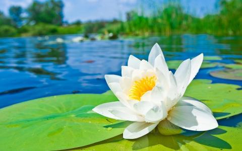 莲花,花,河,宏观照片,美丽