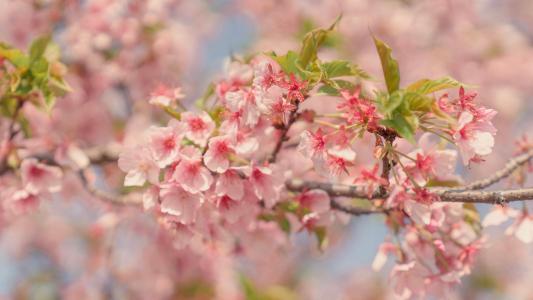 春天里的樱花