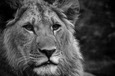 猫,黑色和白色,狮子座