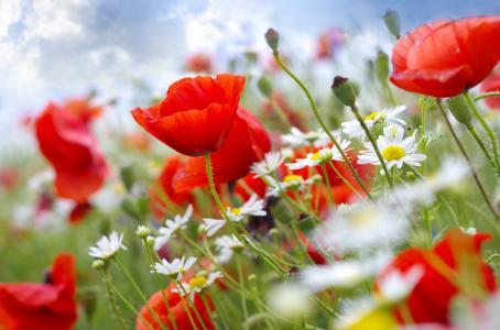 罂粟,花,天空,雏菊,茎