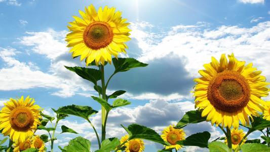 太阳,夏天,天空,云,自然,向日葵