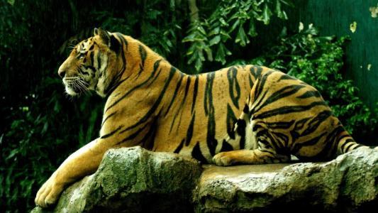 一只动物,一只老虎