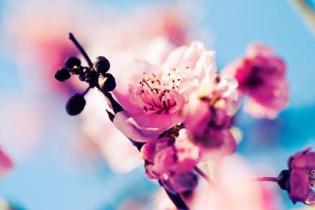 鲜花,芽,粉红色,分支,樱花,樱桃,开花