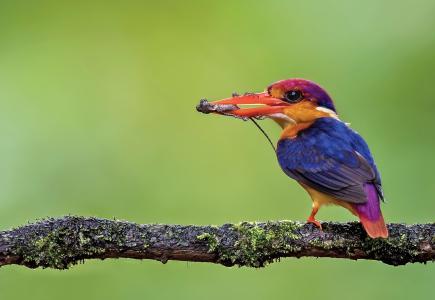 鸟,翠鸟,树枝,蜥蜴,猎物