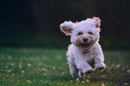 在草地上奔跑的小狗